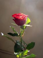 Glowing rose-stock by AJK-Original-Stock