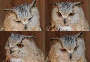 Faces of a Siberian Eagle Owl by Indiliel