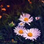 Daisy days by hikingboots