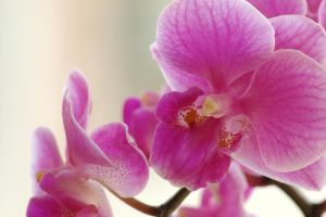 pure orchid by stina-star