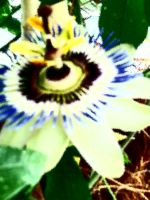 passion fruit flower 0.2 by wispered