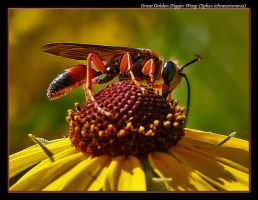 Great Golden Digger Wasp by boron