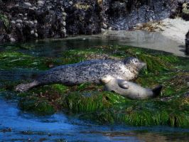 Mother And Pup Harbor Seals by Glacierman54