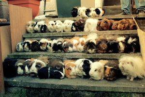 All 44 of my Guinea pigs II by Clerdy