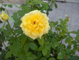 Yellow Rose by KaiserBREE