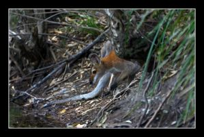 The Wallaby by Keith-Killer