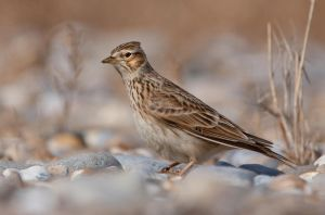 Who needs the Rolling Stones? - Skylark by Jamie-MacArthur