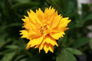 Lovely Yellow Flower by VlinderButterfly
