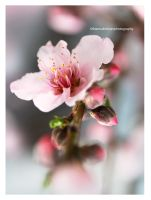 Peach Flower by theresahelmer