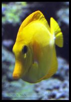 Yellow Tang by Wild-Soul
