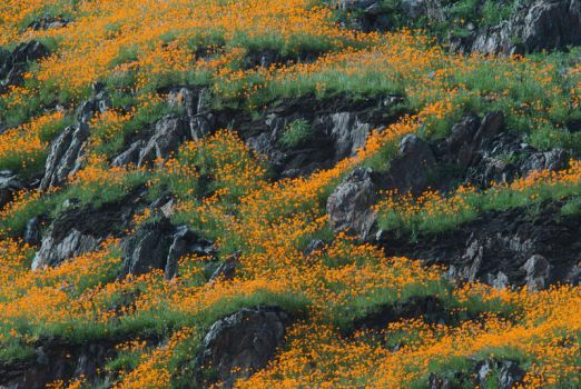 Merced River Valley Poppies by shagie