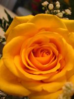 Bright yellow rose by LovesickMelodyxo