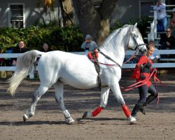 Lipizzaner Stallions 3 by Lauren-Lee