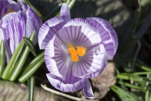 Striped Crocus Blom by Trainman51