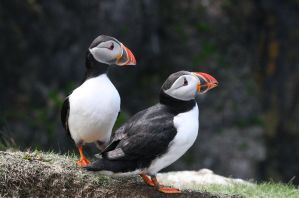 Puffin 8 by bengtsgard