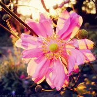 Glowing anemone I by rosaarvensis