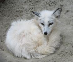 K-S: White Fox1 by Kyndelfire-stock