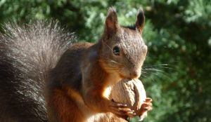 Squirrel 133 by Cundrie-la-Surziere