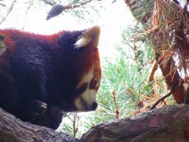 Red Panda Napping by SubRosa-undertherose