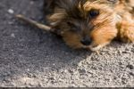 Cute Dog Pup Johnny - 1 by theDevil-photography