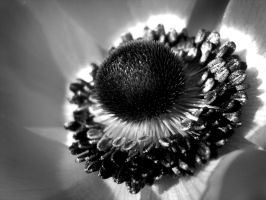 Black and white Anemone by xfiripax