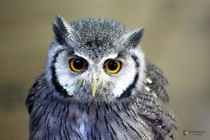 Northern White Faced Owl by Dr-Koesters