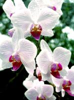 White Orchids by fuchsiadude