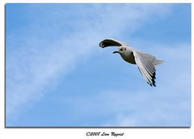 Black-headed gull II by XElimoX