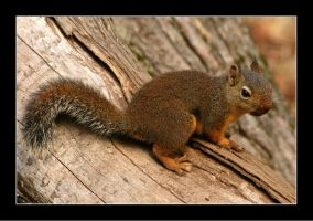 Red Squirrel by WindCrest