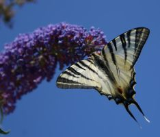 The Butterfly by mancaalberto