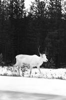 White deer by dozhdi