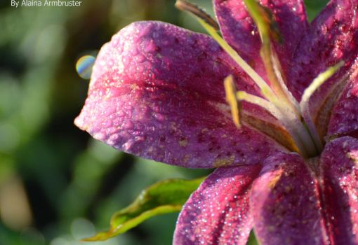 Morning Dew Drops by AlainaLee