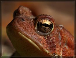 American Toad 40D0031060 by Cristian-M
