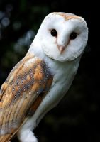 Barn Owl by newfish