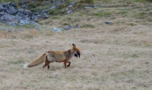Vulpes vulpes by OldEric