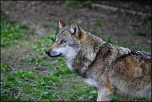 European Wolf 58 by Canisography