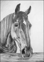 Drawing- Czech warmblood by Ennete