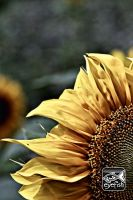 Sunflower by eyefish