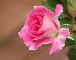 Regensberg: Rosebud by Firey-Sunset