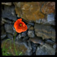 Poppy.. my favorite flower(2) by Bibidef