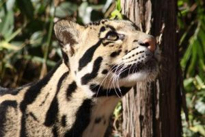 Clouded Leopard by Aldistar