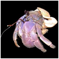 Hermit Crab by roes