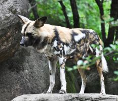 The African Painted Dog by PaintedTreasure