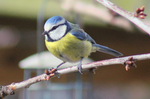Blue tit by S4MMY4RT