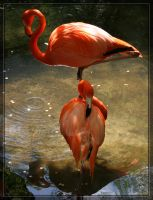 American Flamingos 20D0049486 by Cristian-M