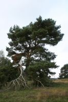 Pine tree in heath landscape with dead branches by Nexu4