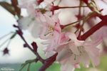 Cherry Blossom by Ootani-Photography