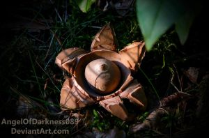 Earth Star - Geastrum by AngelOfDarkness089