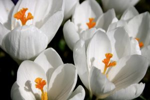 White crocus by th-guenther