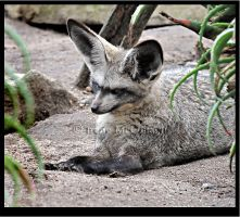 Bat-Eared Fox by substar